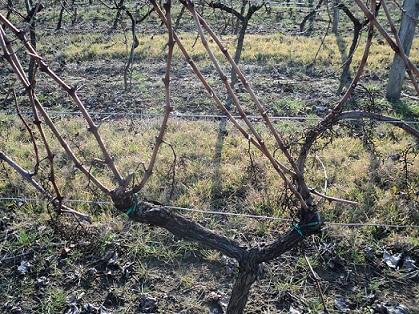 De la vigne au raisin cht la croix dhourquet - Taille vigne raisin de table ...